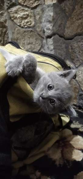 Persian Gray kitten for sale