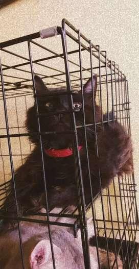Kucing presmed umur 3 bln setengah