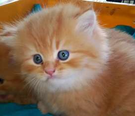 Persian kittens for your Loving homes