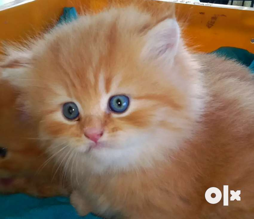 Persian kittens for your Loving homes 0
