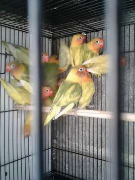 Lovebird blorok GS