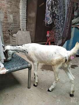 Two goats for sale totaly home made.