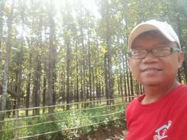 Jual tanah sudah ditanam pohon jati emas,Susana pedesaan indah