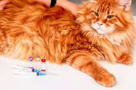 Cat Vaccination services by a Doctor.