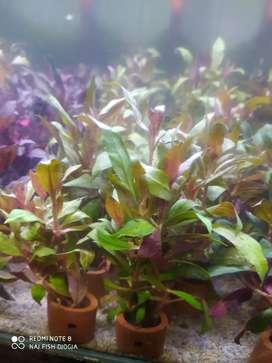 Tanaman aquascape altenentera rosa nerfiq