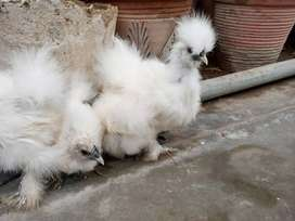 White silkie silky chicks (hen)