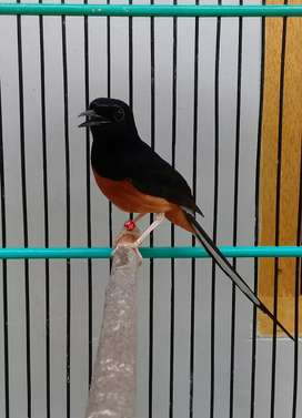Medan hutan ring medium