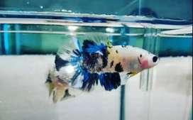 Ikan Hias Cupang Yellow Koi