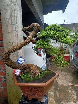 Jual bonsai serut