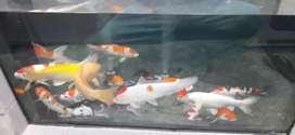 Ikan koi peliharaan size mulai 17 sampai 40cm blitar sukabumi