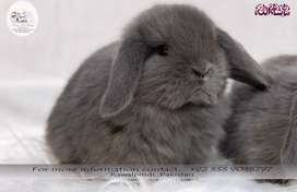 Fancy Rabbit Breed Bunnies! Imported!