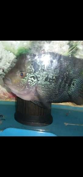 Ikan louhan + aquarium uk.30cm