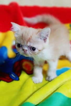 ESH persian kittens good quality available