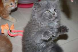 Goofy Persian Kittens and Cats Available