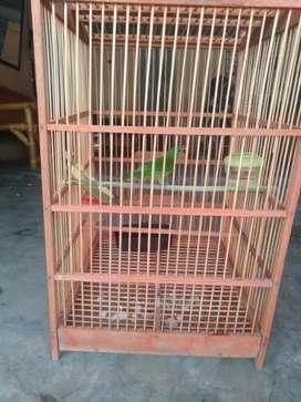 Jual burung murai