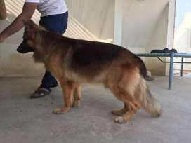 German Shepered long coat male for stud.