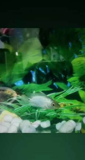 Thai silk flowerhorn baby fish