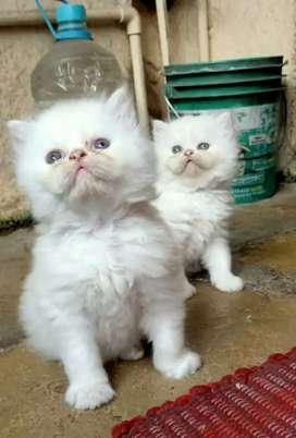 Persian cat heavy bone, tripple coat for sale