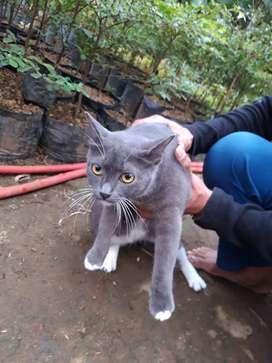 Kucing Persia Mix British