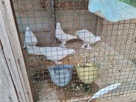 Burung hias merpati putih berbulu