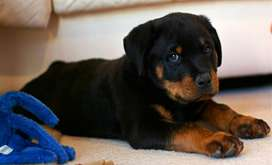 Rotttweiler Female last puppy available 1 month 22 days