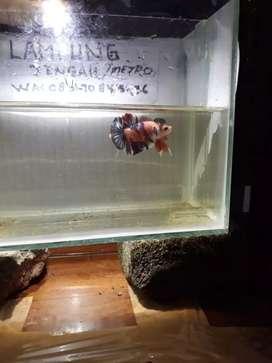 ikan cupa multi baby giant