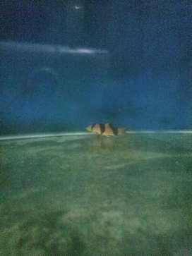 ikan hias botia