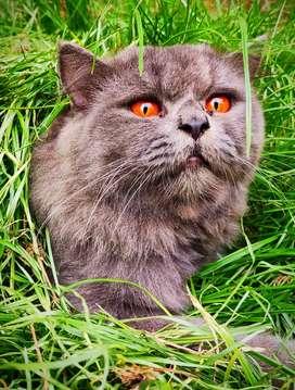 Persian cat doll face