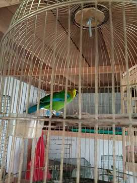Burung murai ranting