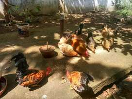 Ayam kate hiasan halaman anda