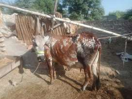 Cow Indian cholistani breed,,,