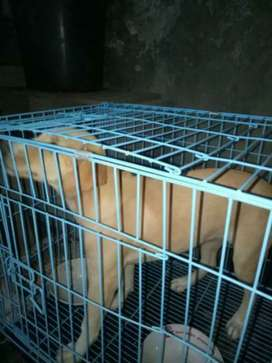 dijual anjing labrador 6 bulan. harga nego. yg penting serius di urus