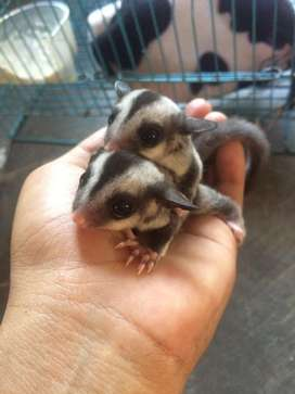Sugar glider grey joey