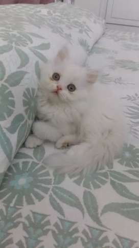 Pure and Home Bred Persian Kittens