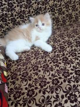 Pure Persian kittens for sell