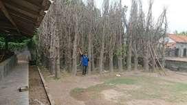 Jual Pohon Baubab lingkar 80cm
