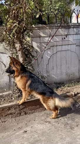 Pidgree long cot 13mounth male for sale