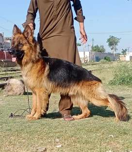 I hve pure long coat gsd for stud