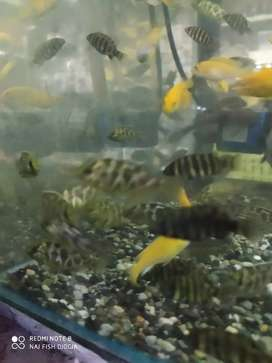 Ikan venustus jantan ukuran lumayan