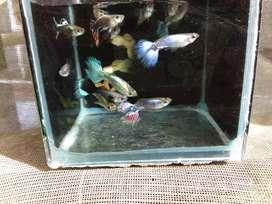Jual ikan guppy warna menarik