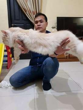 Lepas adop kucing persia medium kesayangan,