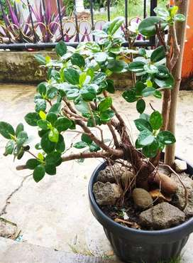 Bonsai Beringin Dollar