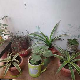 Air purifier plant's and Indore plants