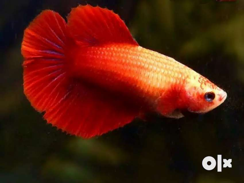 Adult female Betta fish for sale 0