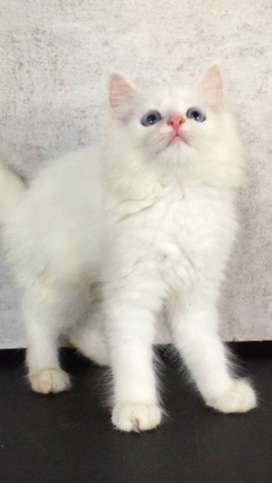Marsel - Kucing Persia 2,5 Bulan Jantan