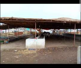 Cattle farm available for rent