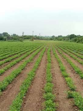 20 vigha Agriculture land