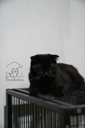 !!LEPAS MURAH!! Kucing Scottish Fold Jantan