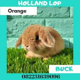 Kelinci murah Holland