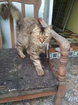 Kucing persia bagus